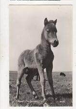 Boxer The Dartmoor Colt [38/264] Vintage RP Postcard 916a