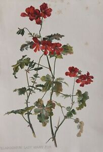1905 antique print Pelargonium (Geranium family). 116 yrs old. Red flower. 1370