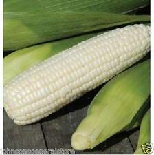 Boone County White Dent Corn Seeds  Non GMO 1 lb Plants Four 50' Rows