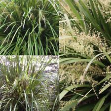 CREEK MAT RUSH (Lomandra hystrix) SEEDS 'Bush Tucker Plant'