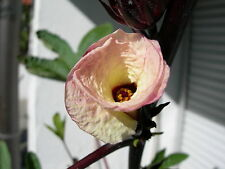 Hibiscus Sabdariffa - Roselle / Rosella - 10 Samen