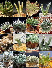 AVONIA MIX variety rare exotic flowering succulent cactus plant seed - 15 SEEDS