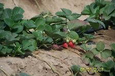 "ORGANIC STRAWBERRY  PLANTS - 1"" ROOT -EVERSWEET ,EVERBEARING  12 COUNT  U.S.A."