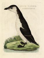 Antique Bird Print-RAZORBILL-AUK-ALCA-Sepp-Nozeman-1770