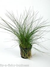 Hair Grass Eleocharis Vivipara Giant   Live Aquarium Plants java shrimp Moss