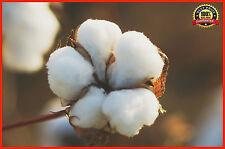 20pcs White Cotton Gossypium Hirsutum Seeds, White Cotton Seeds
