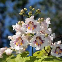 Die schönen großen weißen Blüten des Trompetenbaums ziehen viele Bienen an.