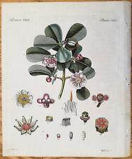 Bertuch Original Colored Print Clusia rosea - 1790(NS)