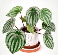 50 Seeds Peperomia Flowers Beautiful Decorative Rare Kinds Plants in Home Garden