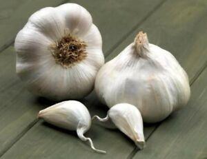 15 Garlic Cloves - Giant Albigesian  - Similar To - Elephant Garlic - UK SELL