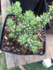cholia cactus