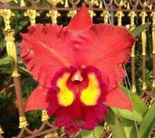 Bin-Blc. Chonburi Red 'Nn' Fragrant! Large Flowers! Collector's item! Attractive