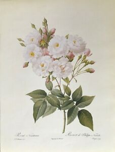 Botanical Print Reproduction, Redoute's Fairest Flowers, Noisette Roses, 1989
