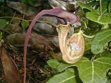 Dutchman'S Pipe Vine (Aristolochia trilobata) - 20 Fresh Seeds -