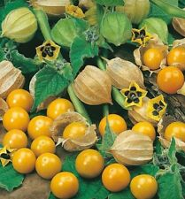 Cape Gooseberry Seeds, 30 Seeds, FREE POST