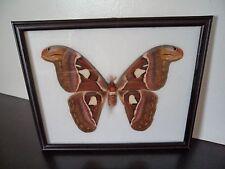 Real Atlas Moth Lepidoptera Entomology Taxidermy Butterflies