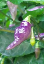 Hot Chili Pepper POCKMARK ORANGE 10 Seeds Vegetable Very Rare From 2019