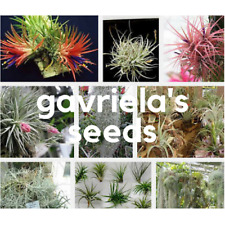 Tillandsia Seed Rare Assorted Ionantha Air plants Tillandsia Nice 100PCS / pack
