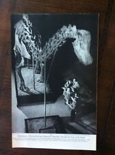 1954 vintage original magazine photo Diplodocus Dinosaur, U.S. National Museum