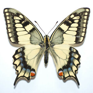 BEAUTIFUL Papilio machaon from Italy RARE ABERRATION male (mounted)