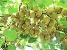 """🥝 Actinidia deliciosa """"Gold"""" , Kiwi, Frosthart, 20 Samen"""