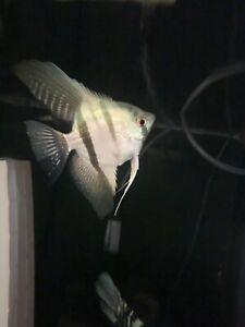 💥 Philippine Blue Standard Angels Angelfish (5 Pack) Rare