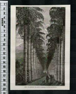 G58 / GRAVURE 1877 / ALLEE DE PALMIERS DU JARDIN BOTANIQUE DE RIO DE JANEIRO