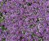 100 Alyssum Seeds Cheers Lavender GROUND COVER