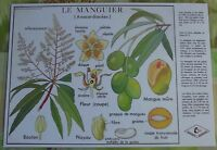 Creación Cartel escolar mantel individual Mango de Rossignol Anacardiacee