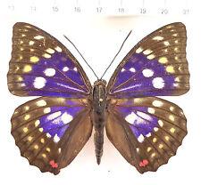 Nymphalidae, Sasakia charonda ex corea del sur, n4