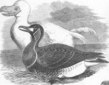 IRAN. Birds. goose & white dodo, from drawings made , antique print, 1856