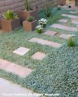 1000 DICHONDRA Repens aka Lawn Leaf Flower Evergreen Ground Cover Seeds + Gift