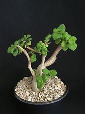 Plectranthus ernestii Succulent Caudex Caudiciform bonsai