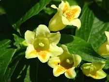 """YELLOW WEIGELA  * MIDDENDORFFIANA * 3.5"""" POT *  FRAGRANT FLOWERS"""