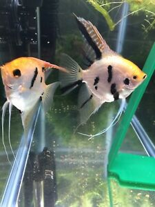 4+4 FREE Assorted Live Angelfish, Gold Koi,Gold ,And Silver Zebra, Black Marble
