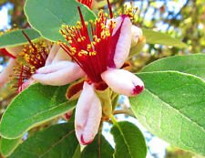 evergreen fruit tree, Feijoa, Pineapple Guava, ACCA SELLOWIANA, flowering shrub