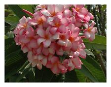 """1 talea""""di Plumeria """"Pink kiss"""" -Cutting"""" lunga dai 30/50 cm"""