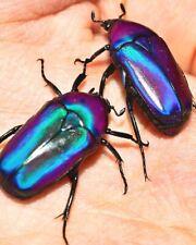 Purple Flower Beetle • (Chlorocala oertzeni), larvae - feeder food