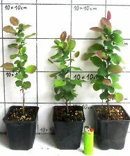 Blutberberitze Berberis Superba gelbe Blüten Honigduft 60-100 im Topf gewachsen
