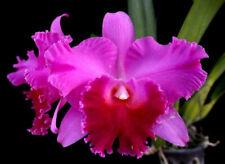 Rlc. Fritz Nicholas 'Spring Dance'. Hybrid Cattleya Orchid Plant. Blooming Size