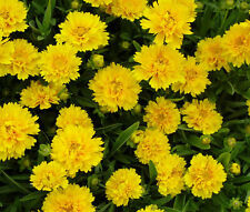 COREOPSIS MAYFIELD GIANTS 100  SEEDS PERENNIAL