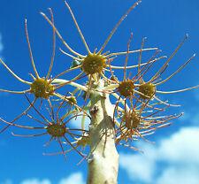 DORSTENIA GYPSOPHILA rare succulent caudex exotic caudiciform seed 15 SEEDS