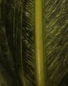 Fly Tying Ostrich Herl Large Pieces Medium Olive Gordon Griffiths