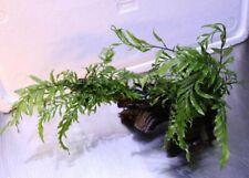 Aquariumwurzel bepflanzt, gewässerte Moorkienwurzel mit Kongo-Wasserfarn 20-30cm