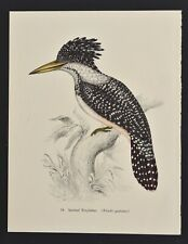 1950s German Lithography print SPOTTED KINGFISHER by English John Gould.
