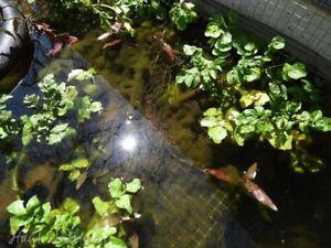 SELLER WATERCRESS 15 plants Nasturtium aquaticum oxygenating pond Algae