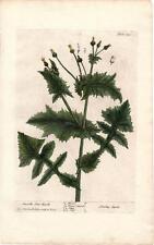 Rare Elizabeth Blackwell Folio 1739 Botanical Engraving Smooth Son Thistle 130