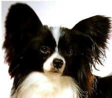 PAPILLON DOGS( Black & White) Fabric -TWELVE Identical  6 inch Squares to Quilt