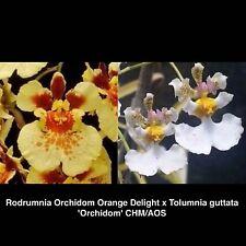 Tolumnia Hybrid - Orchidom Orange Delight x Tolumnia guttata