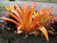 AECHMEA BLANCHETIANA - Large species Shades to Orange/red -Spectacular display!